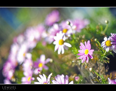 All Things Bright and Beautiful (Lemuel Montejo) Tags: flower japan nikon dof bokeh zushi d7000 nikon50mmf14g