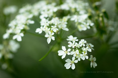 cow parsley. (*Sabine*) Tags: anthriscussylvestris apiaceae blumen cowparsley deutschland doldenbltler europa europe flowers frhling germany kerbel natur nature solingen spring weinsbergtal wiesenkerbel green grn weis white wildblumen wildflowers