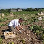 Pomme de terre en récolte manuelle