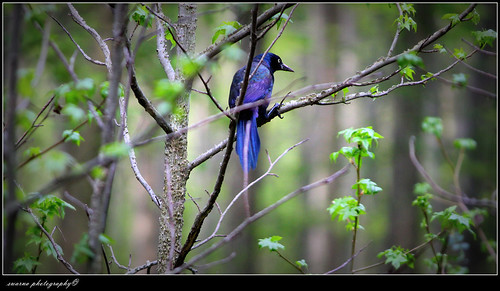 common grackle male. common grackle male.
