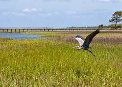 "Fripp - Blue heron takes off • <a style=""font-size:0.8em;"" href=""http://www.flickr.com/photos/30765416@N06/5687954955/"" target=""_blank"">View on Flickr</a>"
