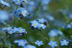 わすれなぐさ (勿忘草)/Myosotis scorpioides (nobuflickr) Tags: nature japan kyoto forgetmenot myosotisscorpioides 勿忘草 thekyotobotanicalgarden waterforgetmenot 京都府立植物園 わすれなぐさ ムラサキ科ワスレナグサ属