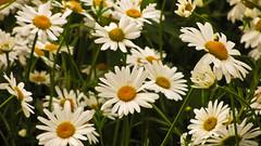 Marguerite (garryknight) Tags: flower london canon powershot creativecommons daisy marguerite lightroom sx220hs