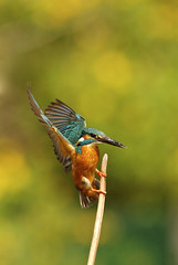 Arrival (jcowboy) Tags: bird nature birds animal animals japan asia wildlife kingfisher aichi obu 2011 kingfishers  specanimal specanimalphotooftheday may2011 hoshinaike