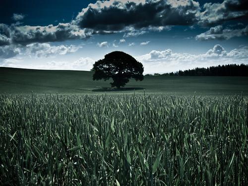 [フリー画像] 自然・風景, 田畑・農場, 樹木, 小麦・コムギ, グリーン, イギリス, 201106041900