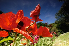 Longcross poppies