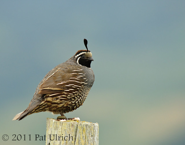 California quail - Pat Ulrich Wildlife Photography