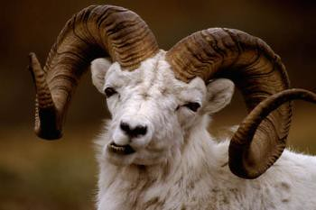 dall sheep polychrome pass