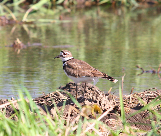 KILLDEER 01