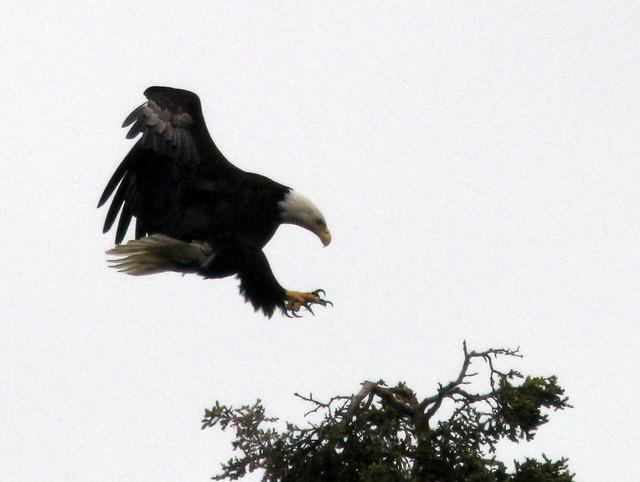 Bald Eagle landing 20110621