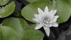 Water lily (ddsnet) Tags: plant flower waterlily sony aquatic partialcolor  aquaticplants  new nex      new lily water  tetragona mirrorless water   lily nymphaeatetragona    emount nymphaea plants nex5 newemountexperience  experience aquatic nymphaea tetragona plantsnymphaea tetragona