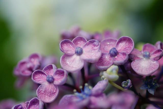 オタフクアジサイ/Hydrangea macrophylla 'Uzuazisai'.