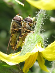 Summer Loving (Lancs Lass1) Tags: summer macro garden couple pair tomatoe hoverfly wow1 wow2 wow3 mygearandme