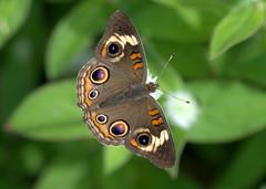 Common Buckeye (KsCattails) Tags: butterfly commonbuckeye d7000 insect kansas kscattails nature nikon overlandparkarboretum