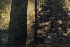 Tree Shadows on Granite Boulder in Yosemite National Park (Lee Rentz) Tags: afternoon america boulder california erratic granite late lichen lichens mountainous mountains nationalparkservice northamerica rock shadow shadows sierra sierranevada stone tree trees usa yosemite yosemitenationalpark
