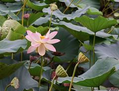 Last lotus flower (Tim Ravenscroft) Tags: lotus flower pond tofukuji kyoto japan