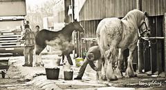 IMG_7807 (Tony Golding) Tags: horse canon shire breed heavy rare peterborough equine draft springshow drafthorse shirehorse 400d shirehorsespringshow shirehorsesociety tonygolding heavyhorsephotography shirehorsesocietyspringshowcollection forgetmenothere