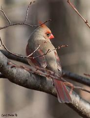 Cardinal (seepea) Tags: public gmt specanimal