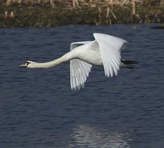 Cute Mute (Jacqui Herrington:) Tags: nature birds scotland angus wildlife deer swans cygnusolor rspb kinnordyloch