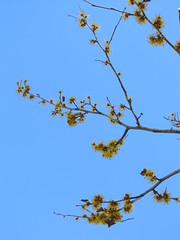 Witch hazel and sky