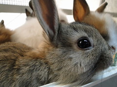 13-28mrch11-7011_mini_rabbit (lotos_leo) Tags: bunny minirabbit
