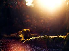 abends im wald (~janne) Tags: sun berlin germany 50mm march sundown forrest laub olympus silence sonne wald blätter märz janne wetzlar gegenlicht untergang tegel stille ruhe leitz janusz summiluxr e520 ziob blendefleck naturmnature