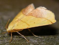 sharp-lined yellow (Sicya macularia) (corvid01) Tags: insect moth sharplinedyellow sicyamacularia lepidoptera geometroidea geometridae ennominae ourapterygini yellow 6912