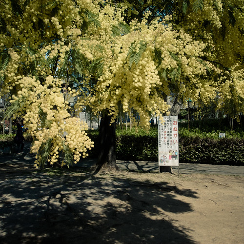 Fluffy Pollenating Tree, Minami Kasai
