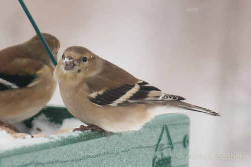 American goldfinch (winter plumage) (15 of 20).jpg