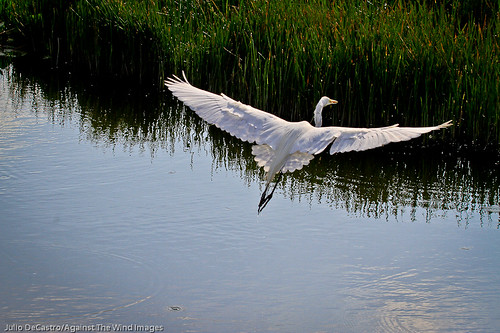 Water landing-_MG_3450 by Against The Wind Images