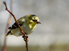American Goldfinch (Adventurer Dustin Holmes) Tags: bird birds animals midwest wildlife goldfinch aves finch finches missouri ozarks birdwatching americangoldfinch goldfinches fringillidae northamerican passeriformes chordata finchs wildcanary americangoldfinches easterngoldfinch goldfinchs spinustristis granivore wildcanaries americangoldfinchs mdc75