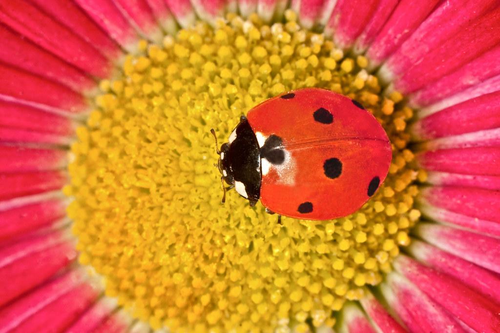 Bellis Flower (Daisy  Perennis)& Ladybug (File:IMG 1918)
