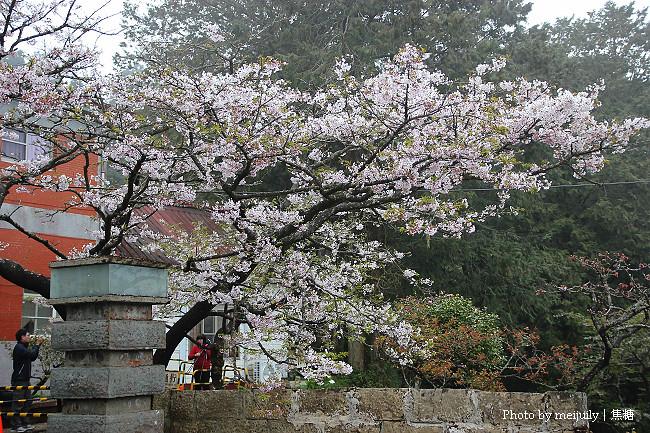 阿里山櫻花季陰天版23