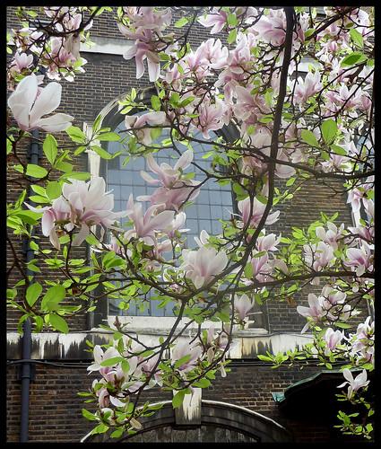 [13/52] Magnolia
