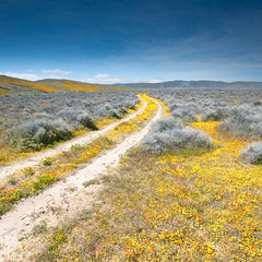 The Yellow Brick Road (Extra Medium) Tags: yellow trail filter dirtroad wildflowers antelopevalley palmdale dirttrack goldfields pearblossomhighway lanscaster highway138 lee9gndhard squareformatbloomflowers