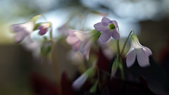 Wood sorrel (Anne Worner) Tags: pink plant blur flower lensbaby blossom bokeh bloom oxalis composer woodsorrel sweet35 anneworner
