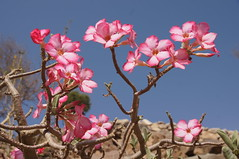 A taster for tomorrow: flowers in the desert (CharlesFred) Tags: pink flower saudi saudiarabia desertflower aseer asir tihama