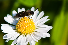 Sunbath of the bug (Domdomfrommionnay) Tags: macro bug macrophotography kenkoextension canoneos50d canonef75300mmf456usm flickraward flickraward5