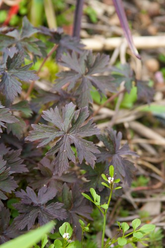 purple geranium  108