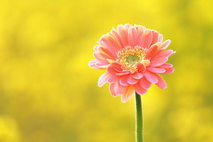 You are not Alone~ ( Spice (^_^)) Tags: pink plants flower color art nature yellow japan canon geotagged photography photo petals stem flora asia flickr colours image bokeh picture blogger livejournal gerbera apr