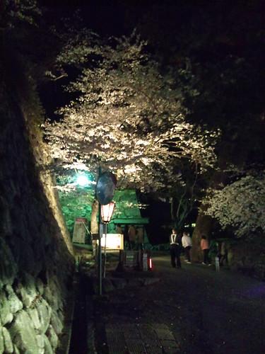 松阪城の桜