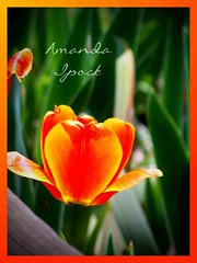 05098 Lovely Tulip (ipock_photography) Tags: flowers flower colors beautiful spring tulips dandelions