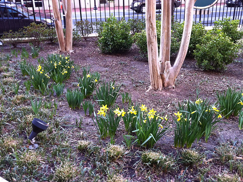 Daffodils Out In Carlyle!