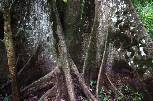 Expédition Sangha 2010 : contreforts d'arbre