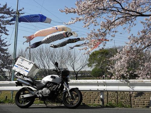 桜 バイク便 鯉のぼり 2011-04-12 066