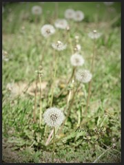 45283 Stand out and be unique!! (ipock_photography) Tags: flowers field spring dandelion