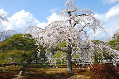 DSC_0867 (yhshangkuan) Tags: japan spring kyoto blossom bloom  cherryblossom sakura   fullbloom 2011 kyotogyoen