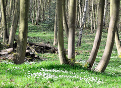 Linacre reservoir woods in spring (rhugo) Tags: spring chesterfield linacrereservoirs