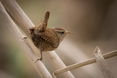 Wren (mikeebateman) Tags: nature birds wildlife sony wren rspb a55 nbw rainhammarshes sigma150500