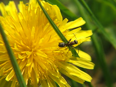 Mali mrav :) (DrazenVK) Tags: macro green yellow ant maslaak zeleno uto mrav